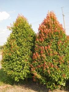 syzygium campanulatum shrub